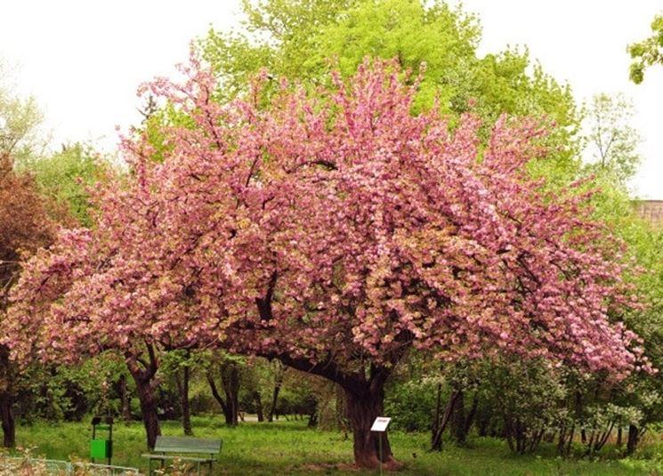 Un ciliegio in fiore in un parco