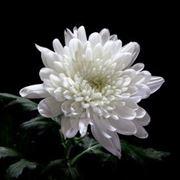 Crisantemo Bianco