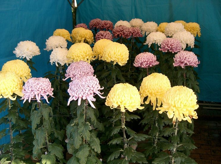 Crisantemi colorati