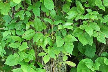 variet� di edera velenosa