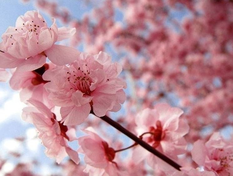 Fiore di ciliegio significato fiori - Ciliegio da giardino ...