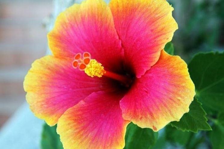 Il fiore dell'ibisco