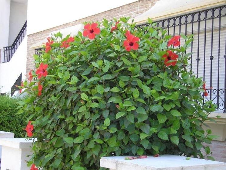 Una pianta di ibisco dai fiori rossi