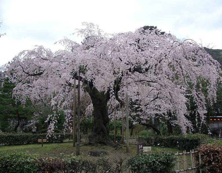 Fiore di ciliegio piangente