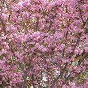fiori di ciliegio giappone