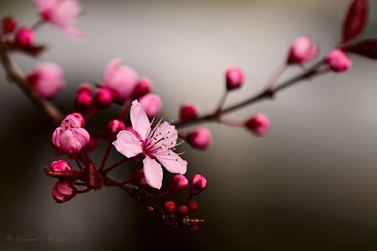 Fiore di Ciliegio Giapponese