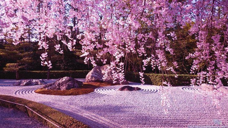 Piante di Fiori di ciliegio Giapponese