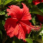 fiore di ibisco rosso