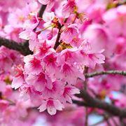 fiore giapponese