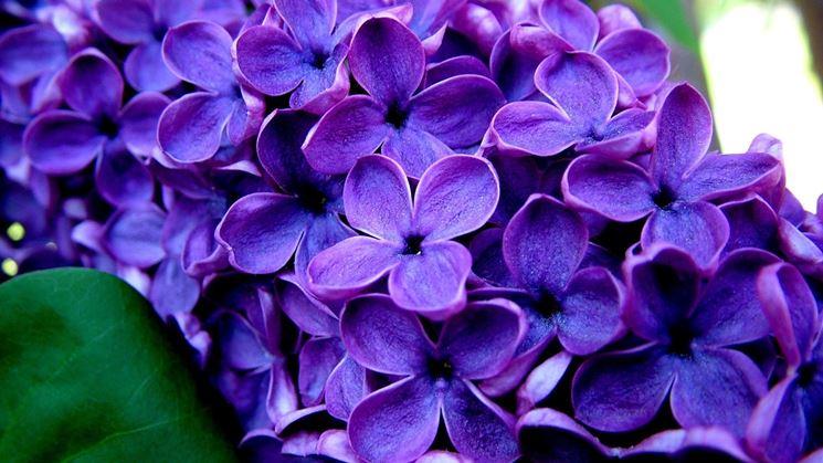 foto fiori viola