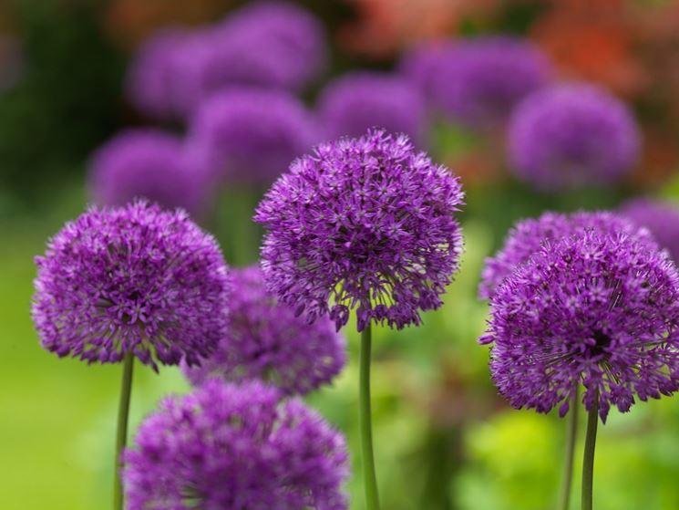 Fiore Allium