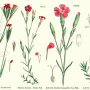 Illustrazione botanica di diverse varietà di Dianthus