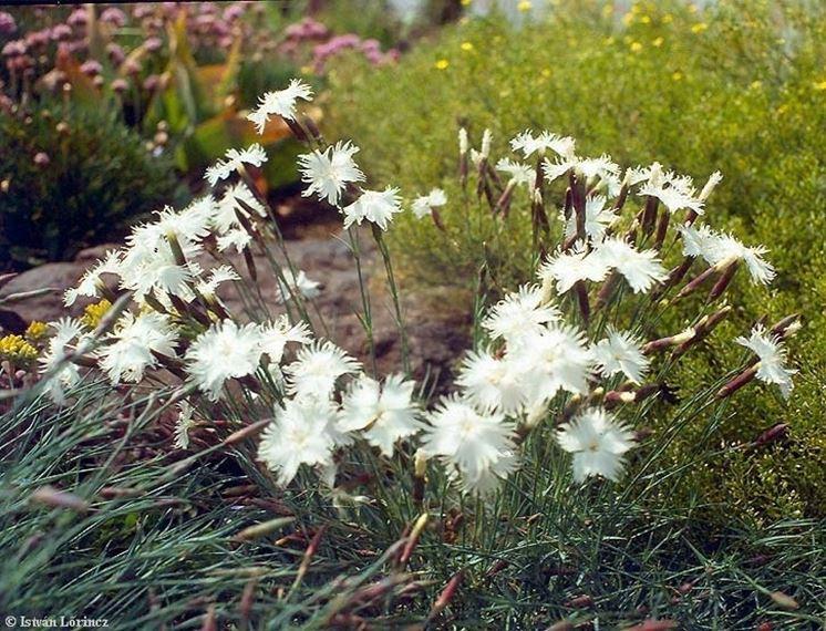 Esemplare di Dianthus plumarius