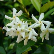pianta di gelsomino fiori