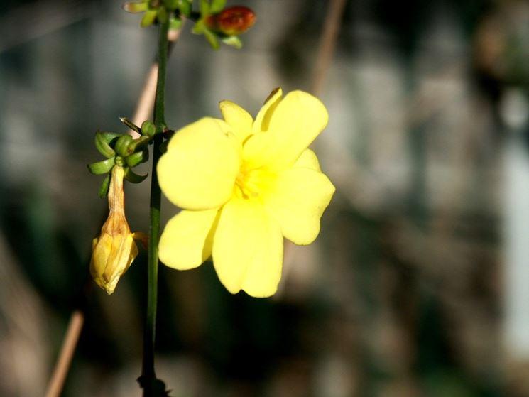 gelsomino giallo fiore