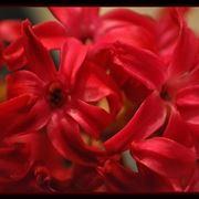 Primo piano di un giacinto rosso