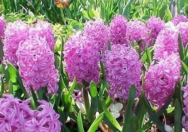 Giacinto orientale, bulbosa perenne