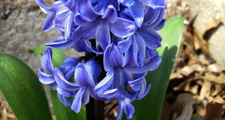 Giacinto blu piantato a terra