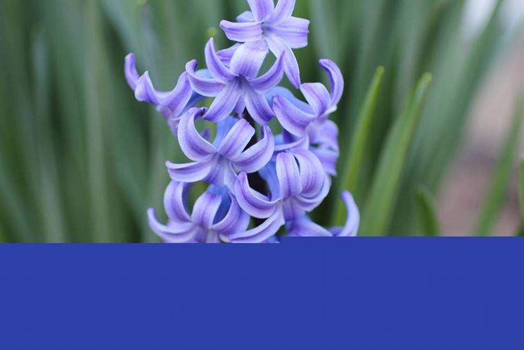 Primo piano di un giacinto orientale blu