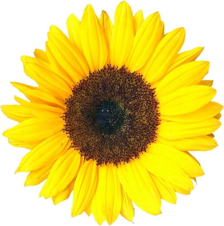 Girasole Matrimonio Significato : Girasoli significato fiori