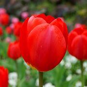 significato dei fiori girasole