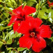 fiore ibisco