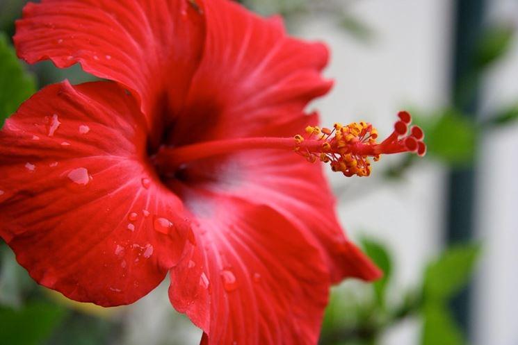 Fiore di ibiscus rosso