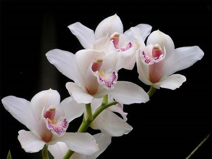 Orchidea, simbolo di eleganza