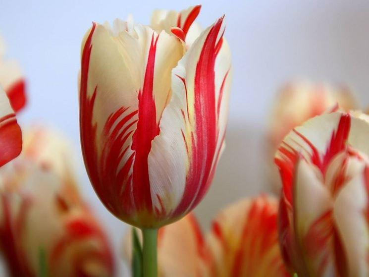 Tulipano, simbolo del vero amore
