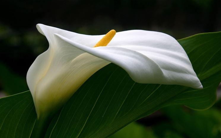 Bellissima calla bianca