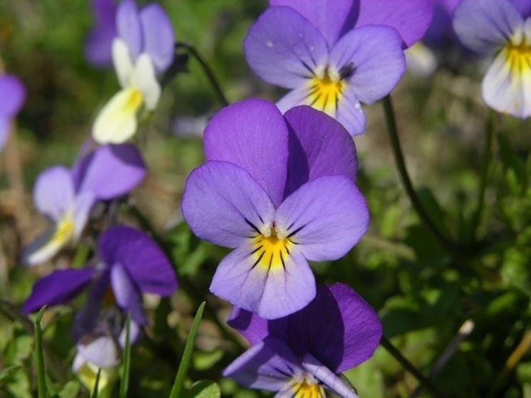 Viola tricolor selvatica