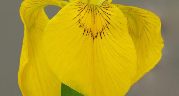 un iris giallo