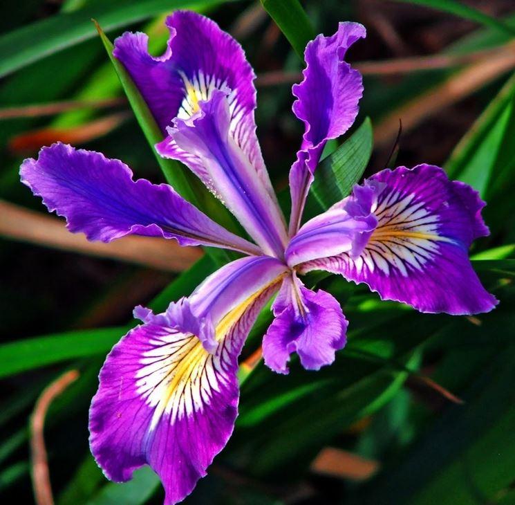 un iris