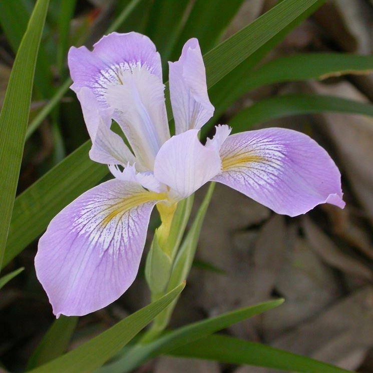 un iris lilla chiaro