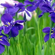 iris fiore significato