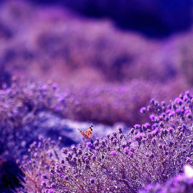 Lavanda con una piccola farfalla