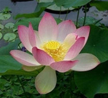 buddismo il loto nell induismo il loto nelle altre filosofie asiatiche ...