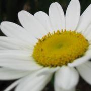 margherita fiore significato