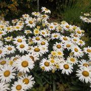 fiori margherite