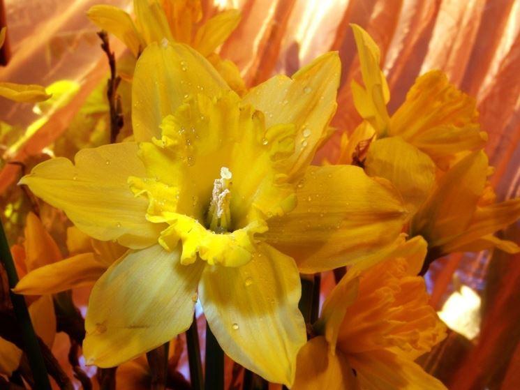Narciso giallo