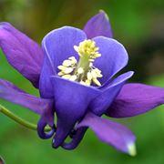 Fiore viola aquilegia