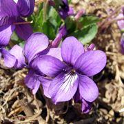 viola fiore