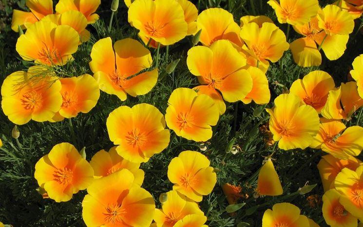 Campo papavero giallo