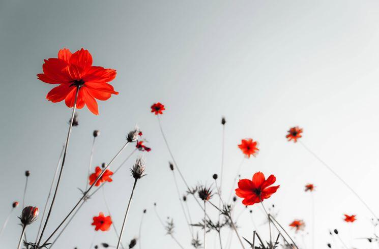 Tipologia di papavero rosso