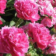 fiori peonie