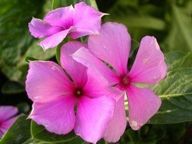 fiori pervinca