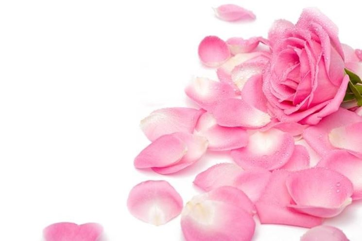 rosa con petali