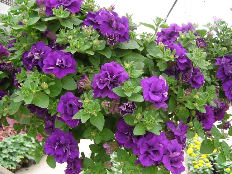 Petunia significato fiori for Petunie perenni