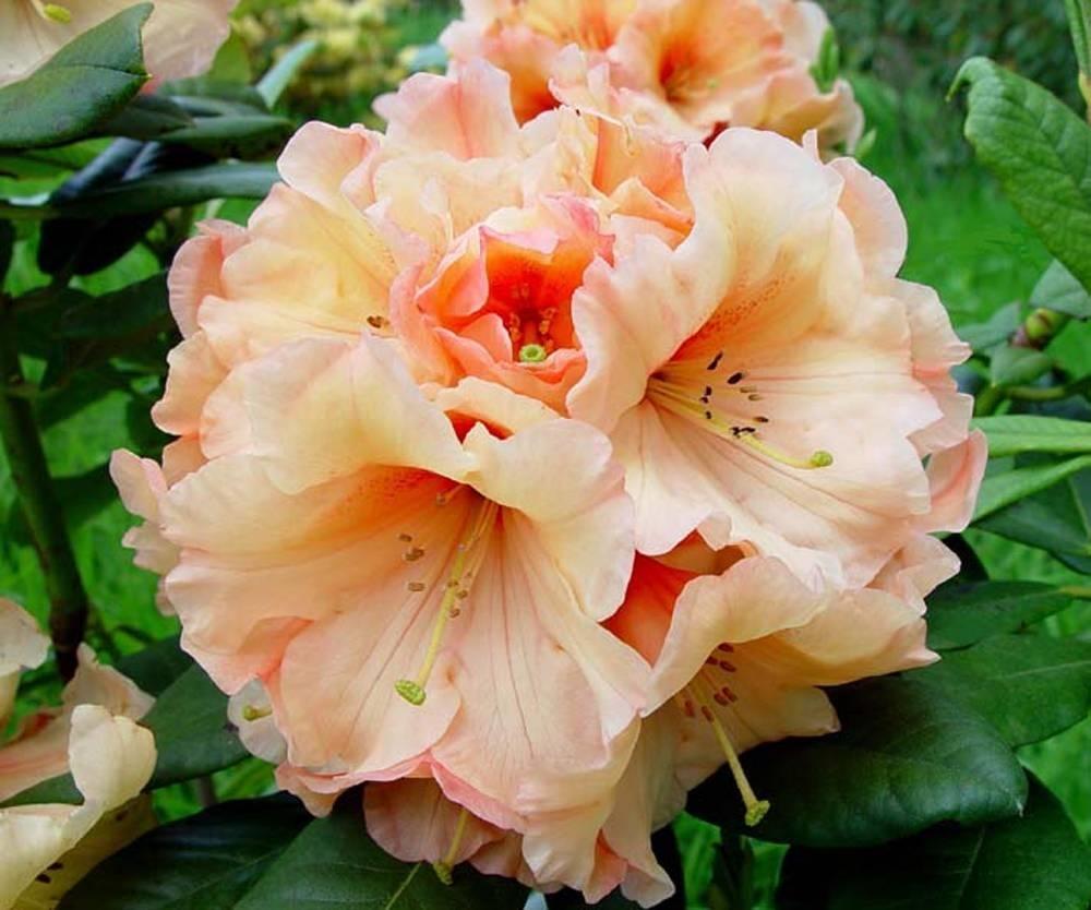 Rododendro significato fiori significato del rododendro for Rododendro pianta