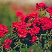 rosa rosa com